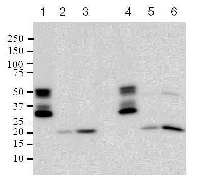 Western blot - Anti-Bax [2D2] antibody (ab77566)