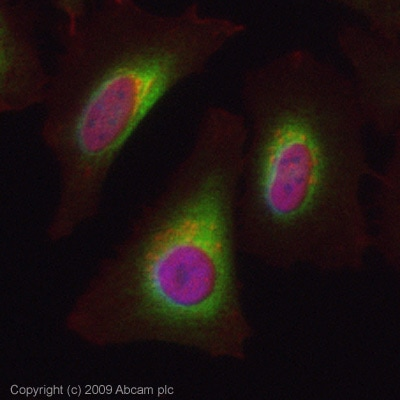 Immunocytochemistry/ Immunofluorescence - Hsp47 antibody (ab77609)