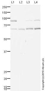 Western blot - Anti-Grainyhead-like protein 1 homolog antibody (ab77762)