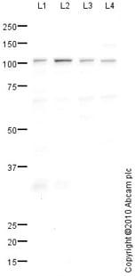 Western blot - Anti-NLRC3 antibody (ab77817)