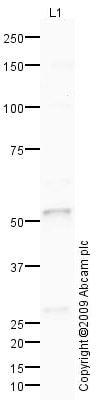 Western blot - Anti-Carboxypeptidase B2 antibody (ab78445)