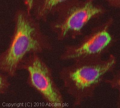 Immunocytochemistry/ Immunofluorescence - Anti-ACADS antibody (ab79169)