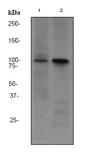 Western blot - Anti-CD10 antibody [EPR2997] (ab79423)