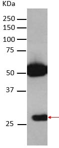 Immunoprecipitation - Anti-Securin antibody [EPR3240] (ab79546)