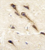 Immunohistochemistry (Formalin/PFA-fixed paraffin-embedded sections) - Anti-Cytochrome P450 26B antibody (ab79818)