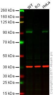Western blot - Anti-Hsp90 alpha antibody [2G5.G3] (ab79849)