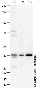 Western blot - Anti-Nkx2.2 antibody (ab79916)