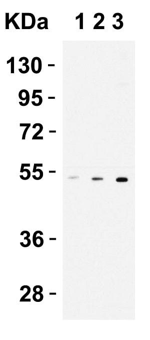 Western blot - Anti-CX3CR1 antibody (ab8021)