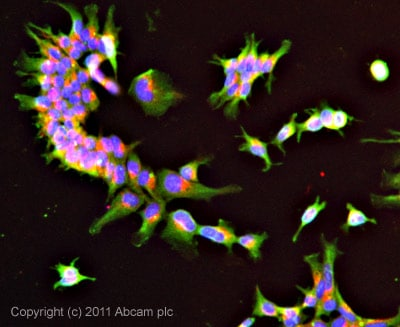 Immunocytochemistry/ Immunofluorescence-DNase II antibody(ab8119)