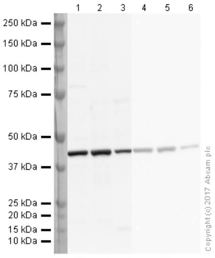Western blot - Anti-beta Actin antibody (ab8227)