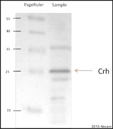 Western blot - Anti-Corticotropin Releasing Factor antibody (ab8901)
