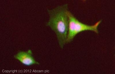 Immunocytochemistry/ Immunofluorescence - Anti-Semaphorin 3A antibody (ab80011)