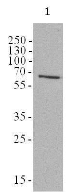 Western blot - Anti-AMPK alpha 1 + AMPK alpha 2 [34.2] antibody (ab80039)