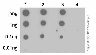 Dot Blot - Anti-Nephrin (phospho Y1176 + Y1193) antibody [EPTPG1] (ab80299)