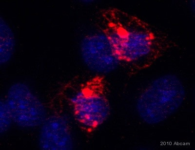 Immunocytochemistry/ Immunofluorescence - Anti-YIPF6 antibody (ab80442)