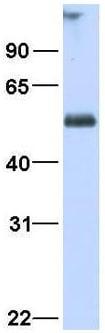 Western blot - Anti-Retinoid X Receptor alpha antibody (ab80453)