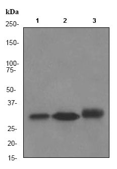 Western blot - Anti-NQO1 antibody [EPR3309] (ab80588)