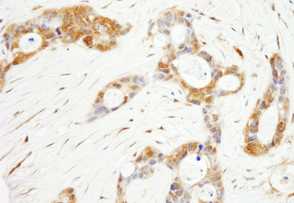 Immunohistochemistry (Formalin/PFA-fixed paraffin-embedded sections) - Anti-OXSR1 antibody (ab80602)