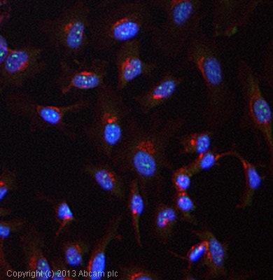 Immunocytochemistry/ Immunofluorescence - Anti-ARID5A antibody (ab81149)