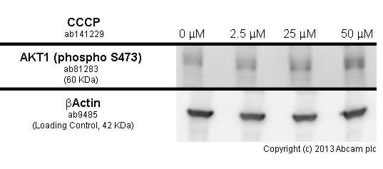 Western blot - Anti-AKT1 (phospho S473) [EP2109Y] antibody (ab81283)