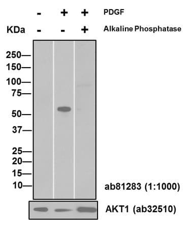 Western印迹-抗Akt1(磷酸S47 3)抗体[EP2109Y](AB81283-)