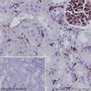 Immunohistochemistry (Formalin/PFA-fixed paraffin-embedded sections) - Anti-CD34 antibody [EP373Y] (ab81289)