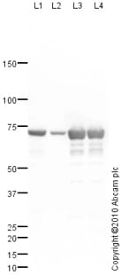 Western blot - Anti-Citrate transport protein antibody (ab82111)