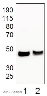 Western blot - Anti-Fas antibody (ab82419)