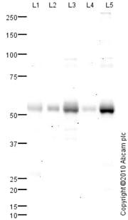 Western blot - Anti-Vitamin D Receptor antibody (ab82566)