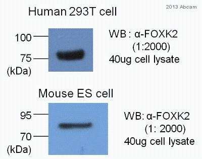 Western blot - Anti-ILF1 antibody (ab83286)