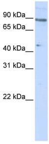 Western blot - Anti-ZNF280C antibody (ab83287)