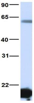 Western blot - Anti-HNF6 antibody (ab83289)