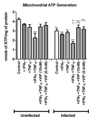 ATP assay used to study mitochondrial disfunction after C. rodentium infection in mice