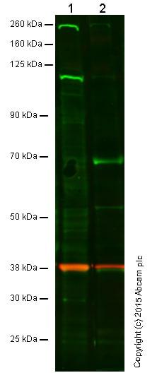 Western blot - Anti-TLR4 antibody (ab83444)