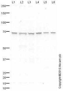 Western blot - Anti-Ku70 antibody (ab83501)