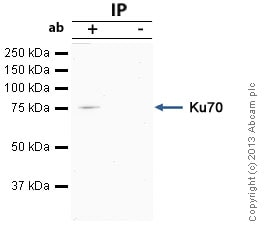 Immunoprecipitation - Anti-Ku70 antibody (ab83501)