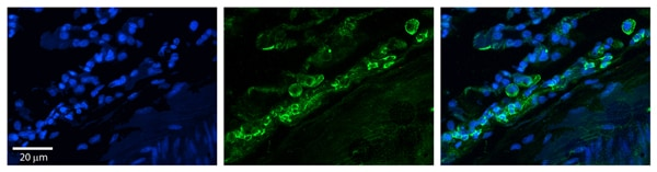 Immunohistochemistry (Formalin/PFA-fixed paraffin-embedded sections) - Anti-Connexin 37 / GJA4 antibody (ab83788)