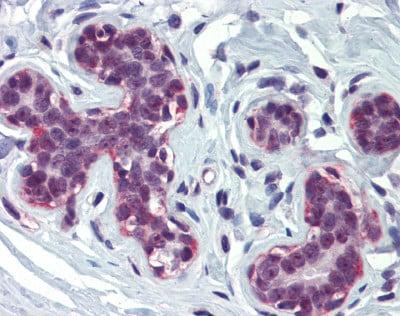 Immunohistochemistry (Formalin/PFA-fixed paraffin-embedded sections) - Anti-KAT3A / CBP antibody (ab83857)