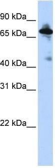 Western blot - Anti-SLC9A8 antibody (ab83937)