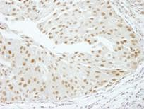 Immunohistochemistry (Formalin/PFA-fixed paraffin-embedded sections) - Anti-RBM16 antibody (ab84452)