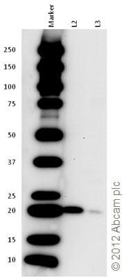 Western blot - Anti-KRAS+HRAS+NRAS antibody (ab84573)