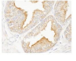 Immunohistochemistry (Formalin/PFA-fixed paraffin-embedded sections) - Anti-ANKRD25 antibody (ab84679)