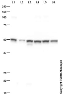 Western blot - Anti-EDG2 antibody (ab84788)