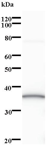 Western blot - Anti-Neugrin antibody [2634C2a] (ab84881)