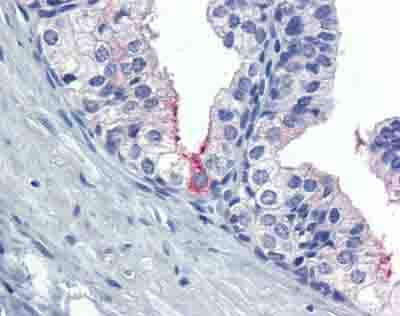 Immunohistochemistry (Formalin/PFA-fixed paraffin-embedded sections) - Anti-AMH antibody (ab84952)