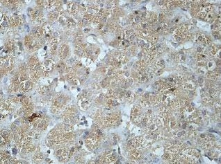 Immunohistochemistry (Formalin/PFA-fixed paraffin-embedded sections) - Anti-PLA2G12B antibody (ab85069)