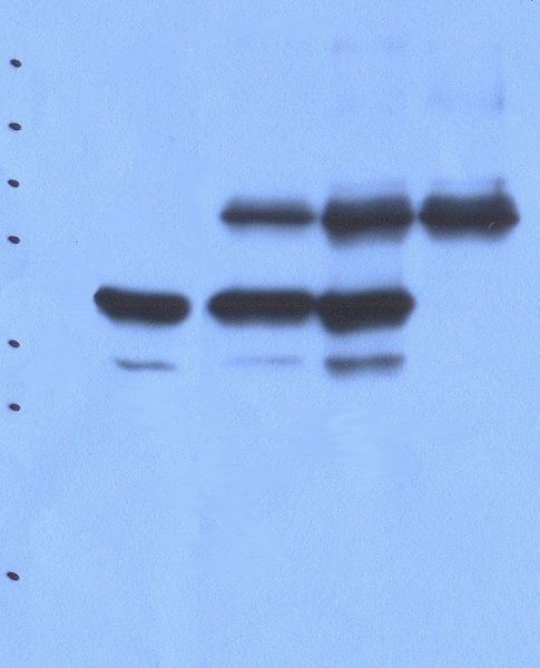 Immunoprecipitation - Anti-PTP rho antibody [T20-AF3C7] (ab85333)