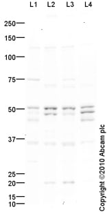 Western blot - Anti-TRF1 antibody (ab85871)
