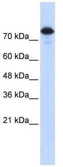 Western blot - Anti-Wwp2 antibody (ab86544)