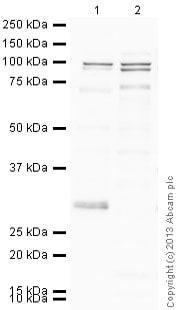 Western blot - Anti-MMP9 antibody (ab86657)